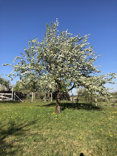 Apfelbaum auf der Gerstetter Alb