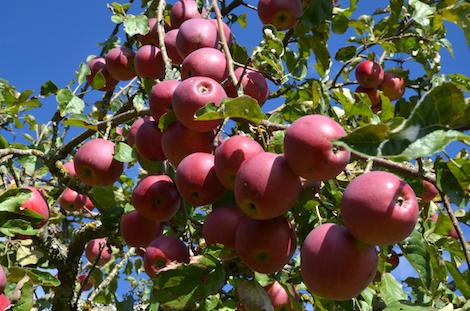 Apfelsorte Berner Rosenapfel