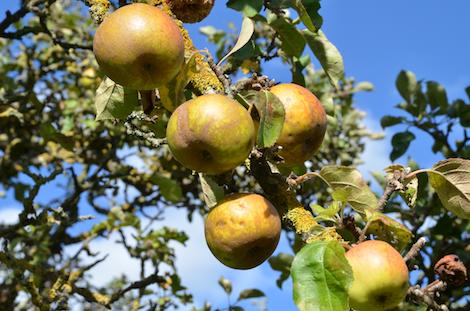 Apfelsorte Boskoop