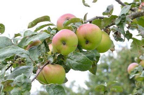 Apfelsorte Brettacher